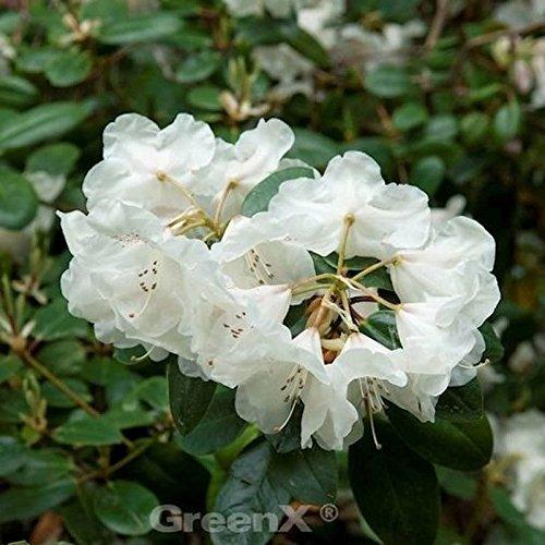 INKARHO - Rhododendron Gartendirektor Rieger 25-30cm - Rhododendron williamsianum