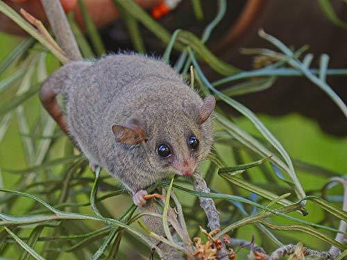 Marsupial Madness