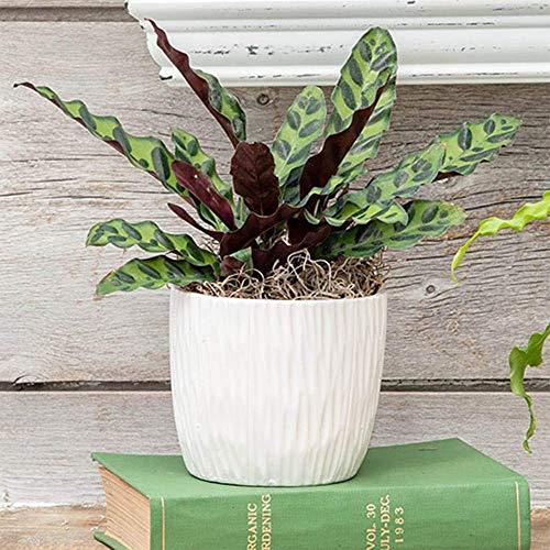 "American Plant Exchange Rattlesnake Calathea Real Live Plant 6"" Pot"