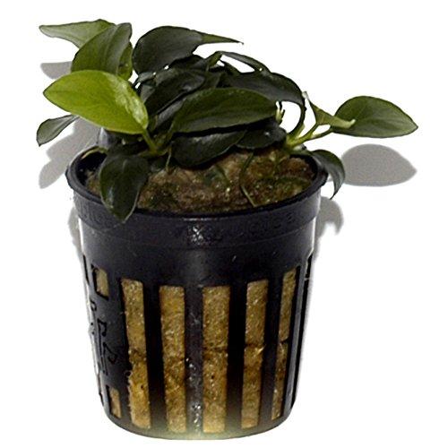 Anubias Petite–Live Aquarium Pflanze, indem Tropica