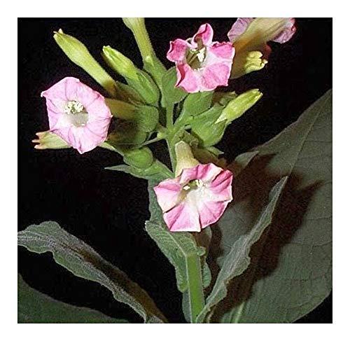 Nicotiana tabacum - Tabac cultivé - 20 graines