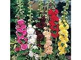 Qulista Samenhaus - 100pcs Selten Stockrosen-Mischung The Bridesmaid Blumensamen winterhart mehrjärhig, Ideal auch als Kübelpflanze auf Terrasse & Balkon