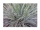 Stk - 6x Blauschwingel Elijah Blue (Festuca glauca) - Ziergras Topf Pflanze K-P53 - Seeds Plants Shop Samenbank Pfullingen Patrik Ipsa
