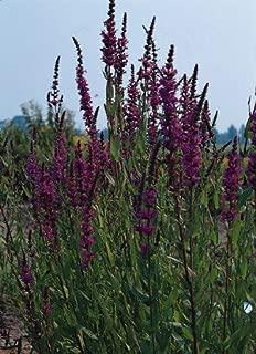 Lythrum salicaria Rosy Gem 5,000 seeds