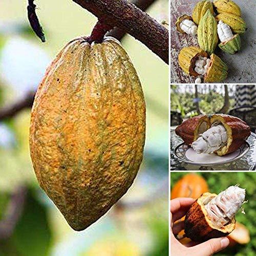 seedsown 40Pcs Cioccolato Cacao Semi Albero del Cacao Frutta Seme Theobroma Casa Giardino delle Piante