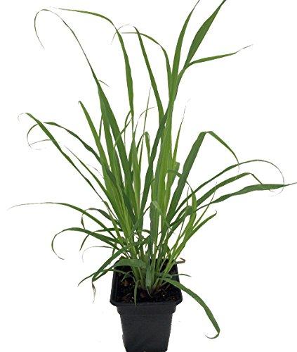 Ohio Grown Lemon Grass Plant - Cymbopogon - Also Repels Mosquitoes - Quart Pot