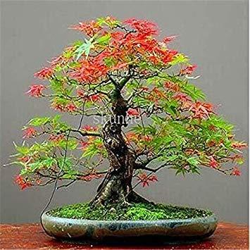 Echter japanischer Geist Blau Ahorn Bonsais Rare Balkon Bonsai-Baum-Pflanzen für Hausgarten-20 PC Verschiffen: 10