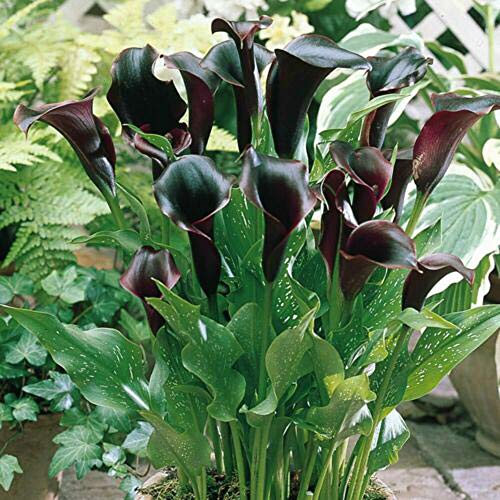 Calla Lily Bulbs Pleasant Gorgeous Perennial Resistant Garden Strong Roots Gardening Gift,3 Calla Lily Bulbs
