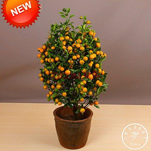Perte Promotion! Arbres 100Seed / Lot Balcon Patio Potted fruits Graines Plantées Kumquat Graines d'Orange Seeds Tangerine Citrus, # 95K1S0