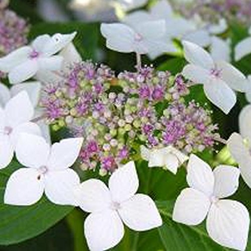 1 X Hydrangea MACROPHYLLA 'Teller White' DECIDUOUS Shrub Hardy Plant in Pot