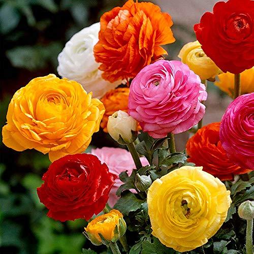 UtopiaSeeds 12 Mixed French Peony Ranunculus Corms