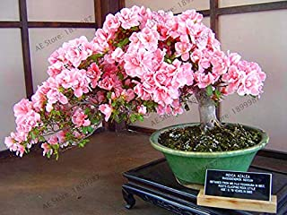 New 2018!Bonsai Tree Japanese Sakura Plant Rare Japanese Cherry Blossoms Flowers Flores in Bonsai DIY Home Garden Mini Bons