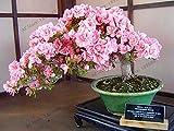 Bloom Green Co. Nuevo 2018!Ãrbol Bonsai Planta de Sakura Japonesa Flores de Cerezo...