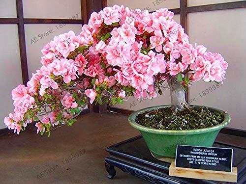 Bloom Green Co. Nuevo 2018!Ãrbol Bonsai Planta de Sakura Japonesa Flores de Cerezo Japonés Raras Flores flores en Bonsai Jardín de Casa Mini Bonsai DIY
