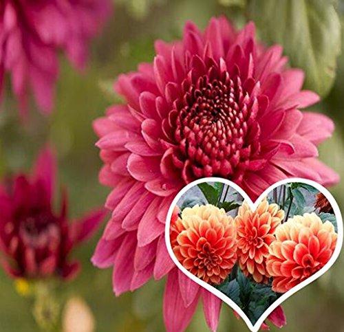 semences Dahlias Graines bonsaï fleurs bricolage jardin livraison gratuite de vente Big vente chaude