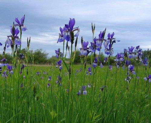 Sibirische blaue Sumpfschwertlilie / Iris sibirica 'Blau' im 9×9 cm Topf - 2