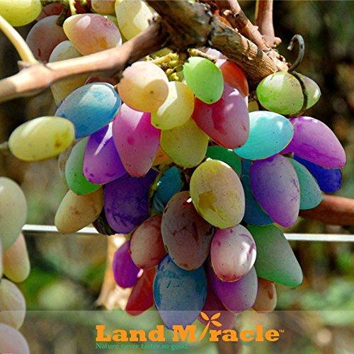 La plantation arc-Raisins Graines, 30Seeds / Lot espèces rares graines bonsaï fruits de raisin, la maison jardin Cépages Colorful plantes d'intérieur