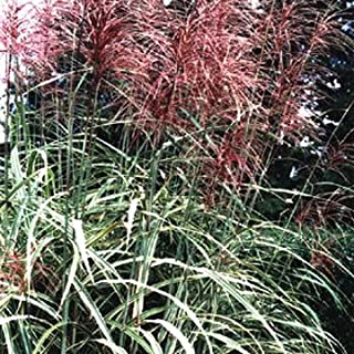 10 RED MAIDEN GRASS Miscanthus Sinensis Plumes Ornamental Flower SeedsComb S/H