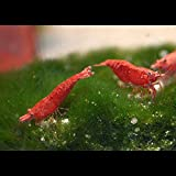 Zierfischtreff.de 10 Red Sakura Garnelen Extrem ROT Deutsche Nachzuchten