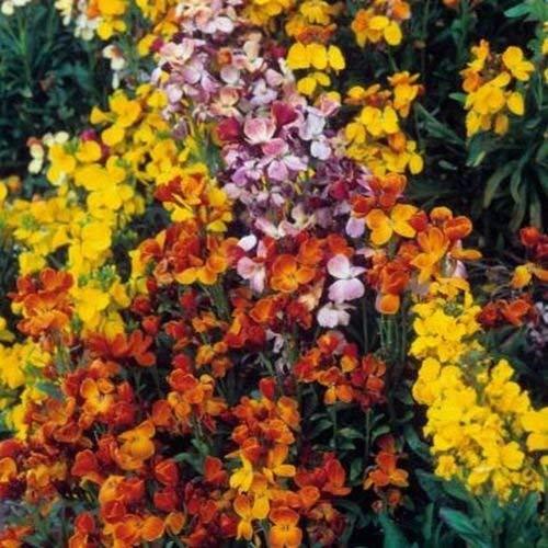 WallFlower- English Mix- 100 Seeds