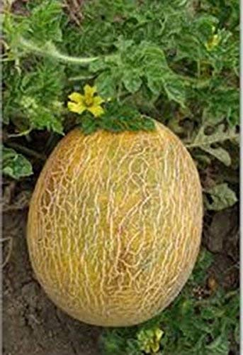 vegherb 2G / 40 Samen der Melone Ananas