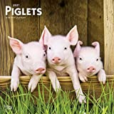 Piglets 2021 12 x 12 Inch Monthly Square Wall Calendar, Domestic Pet Baby Farm Animals