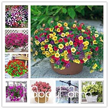 VISTARIC Plum: Kletter Blume 100 Aubrieta Samen Cascade-lila Blumen-Samen, Superb Perennial Bodendecker blühende Pflanzen für Haus Garten