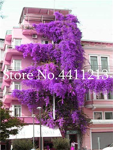 Pinkdose 100 stücke Bunte Bougainvillea Blume Balkon Blumentopf Garten Blumen In Bonsai Blühende Winterharte Zierpflanze Baum: 14