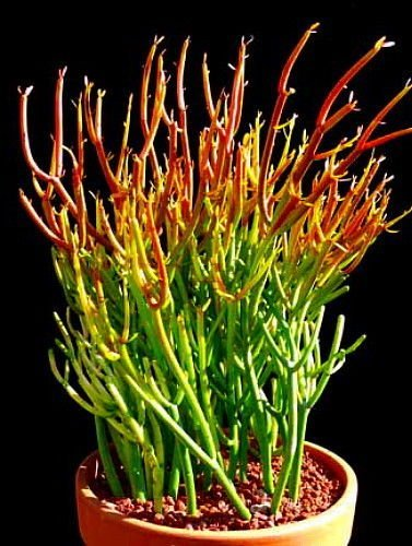 Fire Sticks Pencil Cactus - Euphorbia 4'' clay pot - unique from Jmbamboo