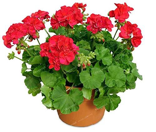16:20ピース/バッグゼラニウム種子盆栽フラワー種子多年生の花の種子ペラルゴニウムペルタタム種子鉢植えゼラニウム用ホームガーデン