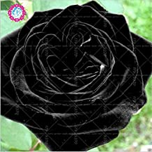 100pcs/bag Black Baccara Hybrid Rose Shrub Flower Seeds, Fresh Exotic True Blood Rose Flower Plant Home Garden Bonsai Easy Plant