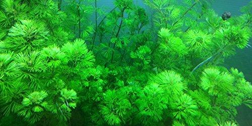Goldene Haarnixe / Cabomba aquatica - 5 Bund