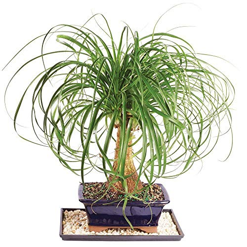SmartMe -7 Years Old Ponytail Palm Bonsai Tree Home Or Office Indoor Live Plant Best Gift