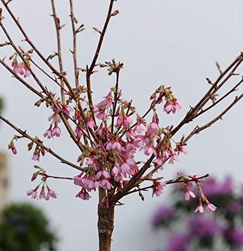 Hochstamm Zierkirsche Okame 60-80cm - Prunus Okame