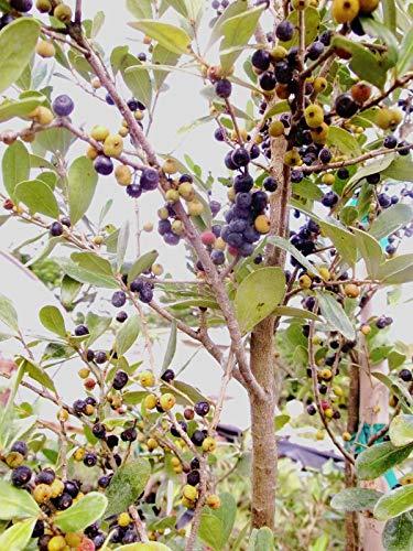 Tope española Eugenia foetida, Florida nativa semilla bonsai árbol silvestre 10 semillas