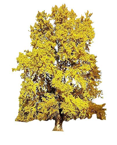 Ginkgo Biloba / Maidenhair Tree Seeds Tree Seed Pack, Ginko, Ideal For Bonsai 10