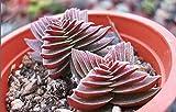 crassula capitella thyrsiflora rosso pagoda succulenta seme cactus pianta trasporto libero 100pcs/bag