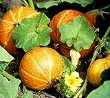 12 Graines de Potimarron - légumes courges jardin potager méthode BIO