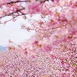 Semillas japonesas de flores de cerezo en flor Sakura 5+ Prunus serrulata Semillas de árboles para la plantación de jardines domésticos