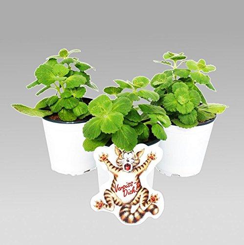 """Coleus canin – Verpiss-Dich""""-Pflanze – 3 Pflanzen"""