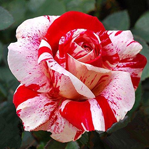 Lady plupart Fevorite fleurs de jardin Graines Pot Bonsai Stripe Rare Rose Seed Semis Professional fleurs des plantes 20 graines / paquet