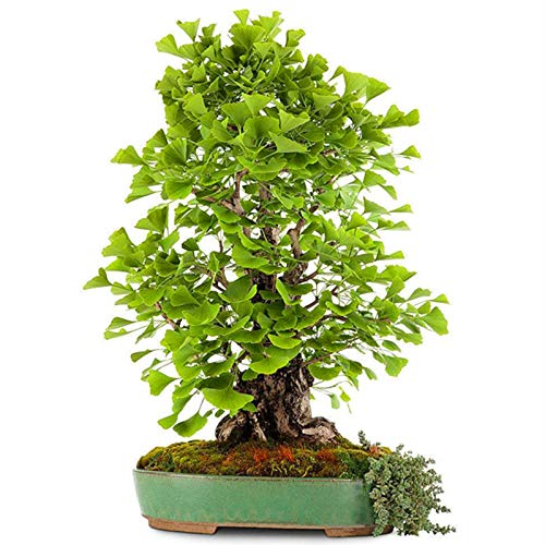 Ginkgo Biloba Baum Samen 6pcs Maidenhair Baum einfach zu züchten Pflanze mehrjährige Bio frische Kräuter Premium Samen für das Pflanzen Yard Outdoor Decor