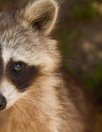 """Raccoon Notebook: 350 lined pages, softcover, 8.5\"""" x 11\"""""""