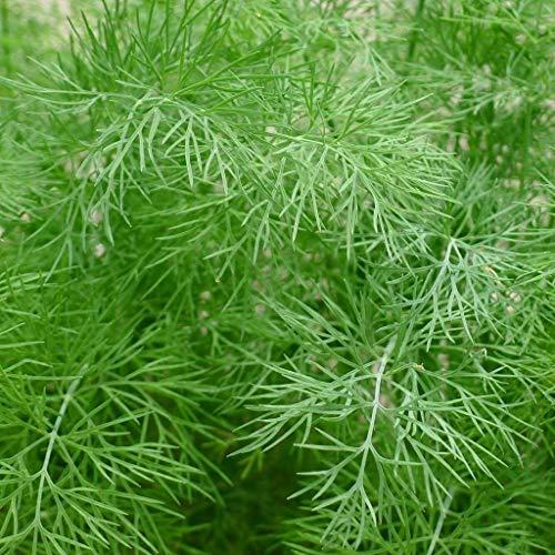 GETSO 5 g - Schutz wiederverschließbar pa: Samen für Bouquet Dill | Anethum graveolen | Amkha Seed