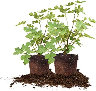 Perfect Plants Celeste Live Plant, 1 Gallon - 2 Pack, Includes Care Guide