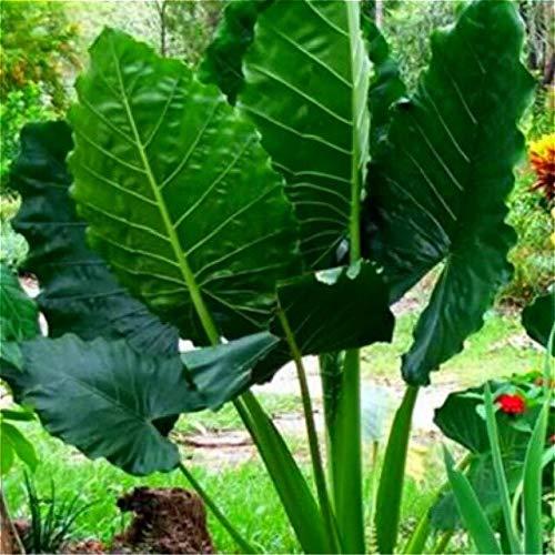 Armee Grün: 2017 Neue Garten Alocasia Macrorrhiza Samen Von Blumen Bonsai Riesen Elefantenohr Taro Dishlia Blume Pflanzen Samen 50 Teile/paket