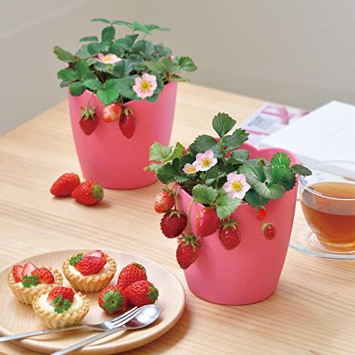 聖新陶芸ピンクの花咲くストロベリー栽培キット