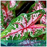 GEOPONICS GRAINES: 100pcs ZLKING Belle Caladium Bonsai plein de vitalità intÃrieur Plantes en pot Evergreen DÃcoration: Caladium 11