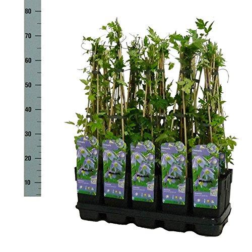 Blumen-Senf Clematis Alpina/30 cm/Topf Ø 9 cm/wunderschöne Clematis Waldrebe Kletterpflanze