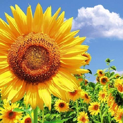 Carte Blanche 3D holografische Karte – Nahaufnahme – Sonnenblumen